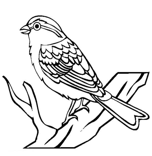 birds coloring pages sparrow coloring pages download and print sparrow coloring birds pages