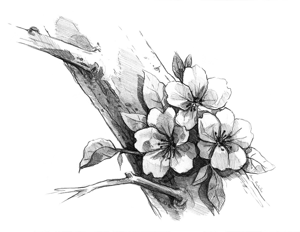 cherry tree sketch cherry blossom drawing in pencil on behance cherry sketch tree