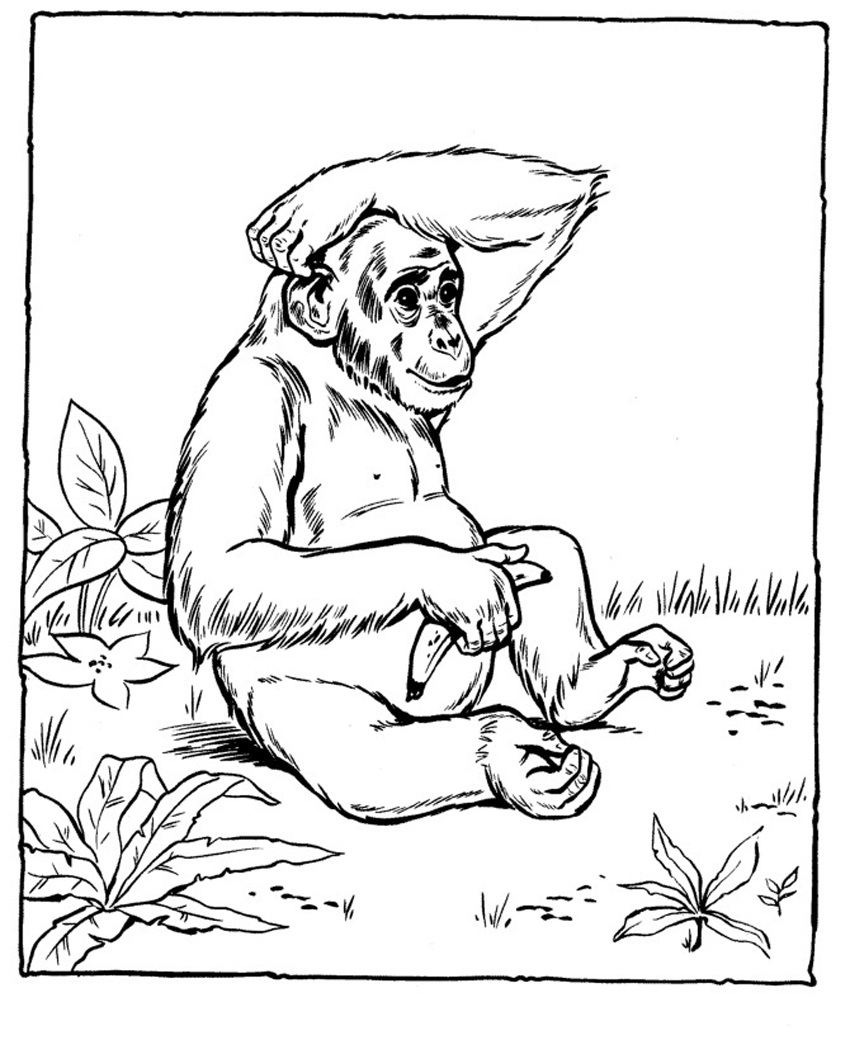 chimpanzee pictures to color free printable chimpanzee coloring pages for kids color chimpanzee to pictures
