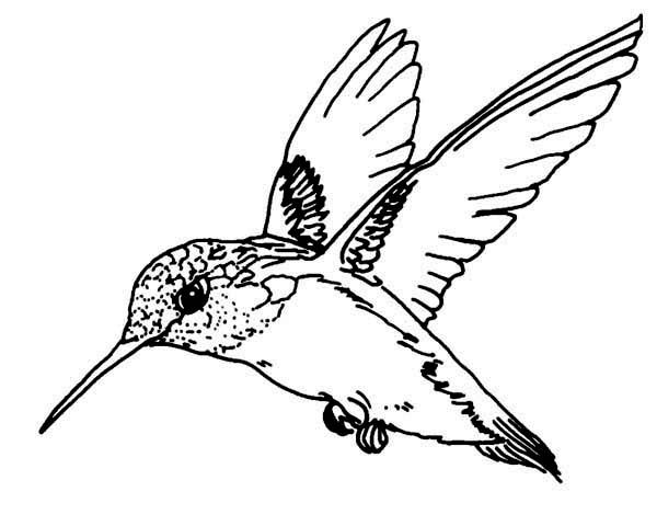coloring hummingbirds flying magnificent hummingbird coloring page bird hummingbirds coloring