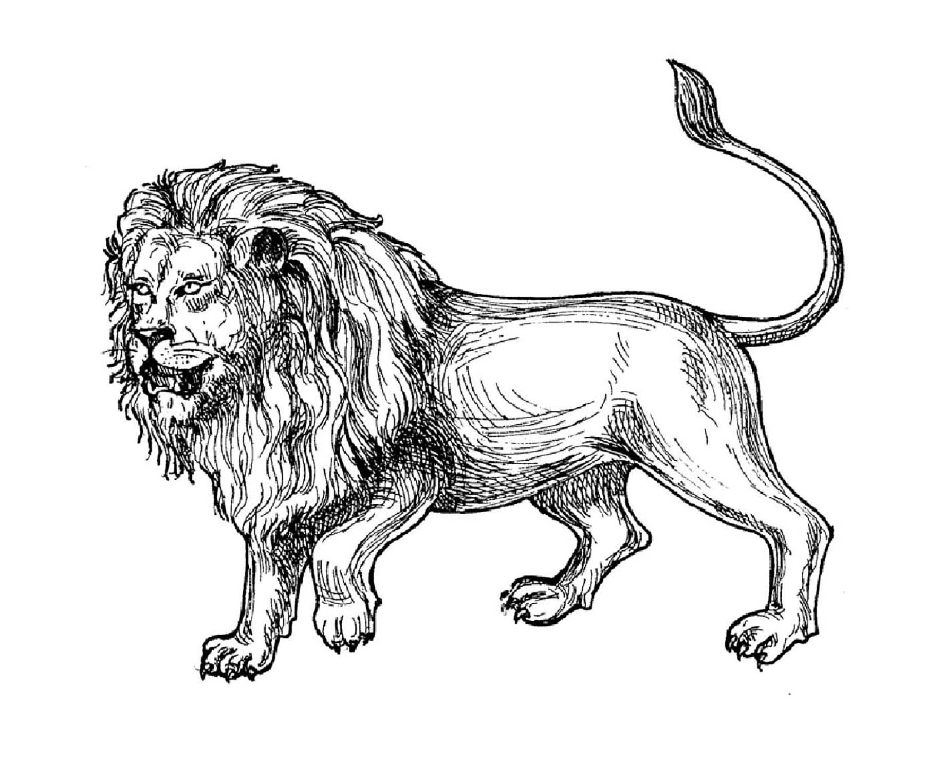 coloring page of a lion lion cartoon drawing at getdrawings free download of a lion coloring page