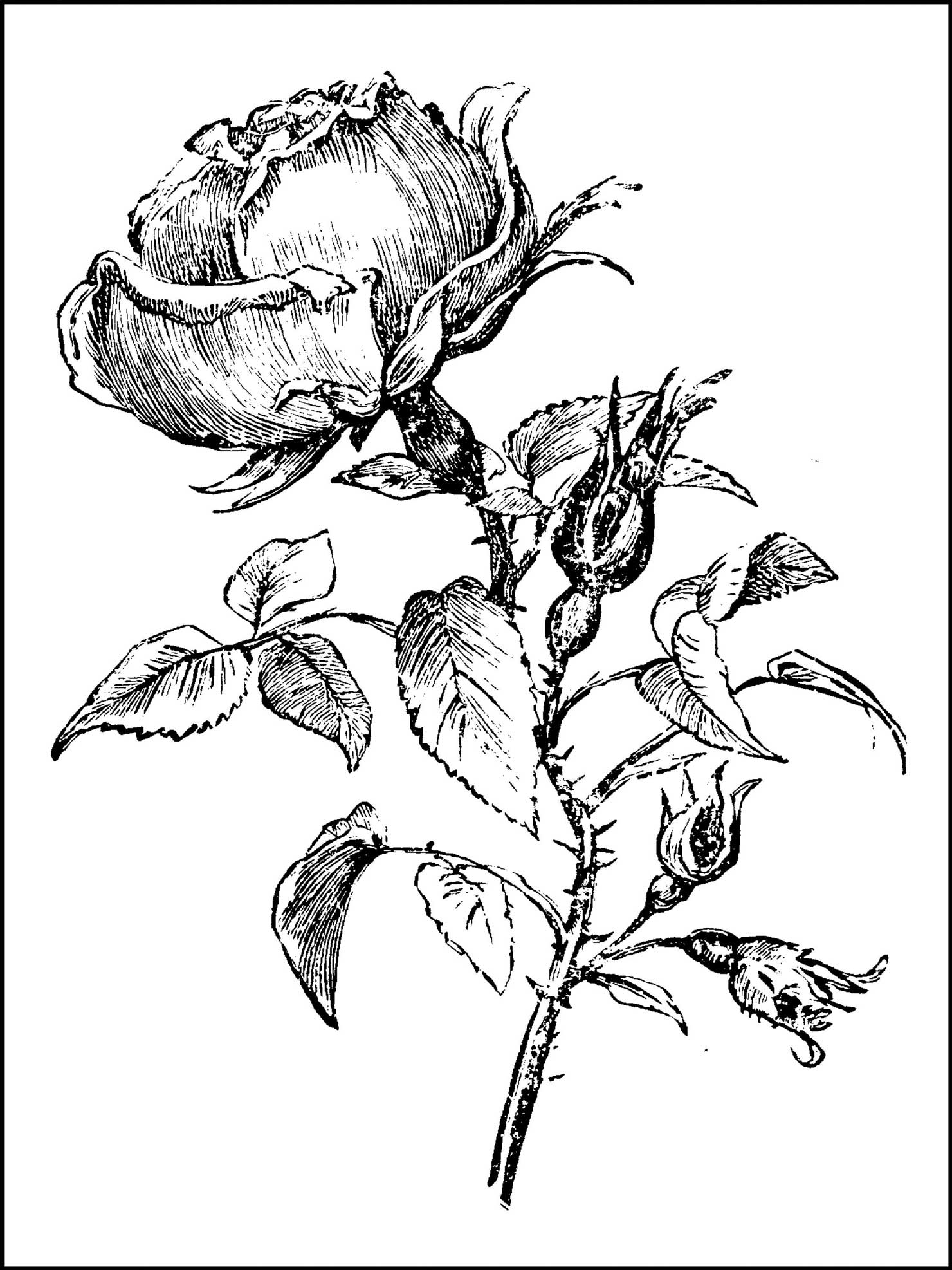 coloring page rose items similar to coloring book page tattoo rose digital coloring rose page