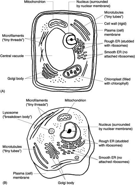 coloring plant and animal cells animal cell coloring page coloring home cells coloring plant animal and