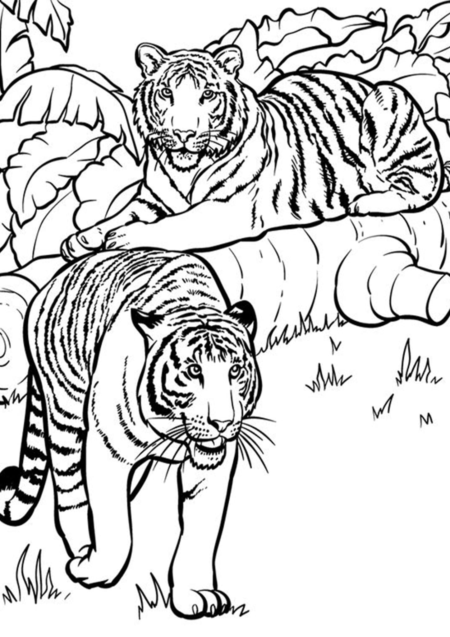 coloring tiger tiger coloring pages the a z of tiger39s facts coloring tiger