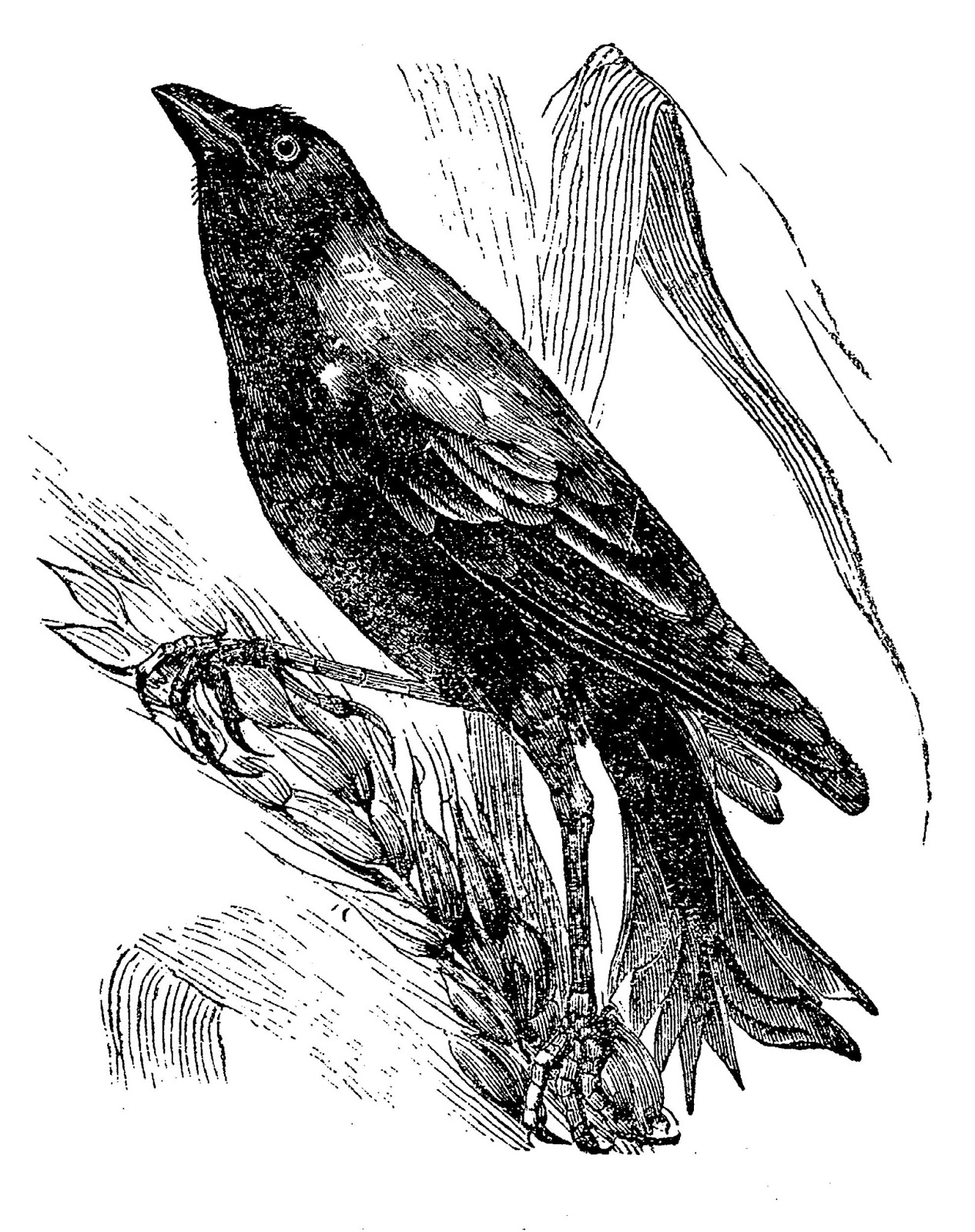 crow drawing crow clipart clipart panda free clipart images drawing crow