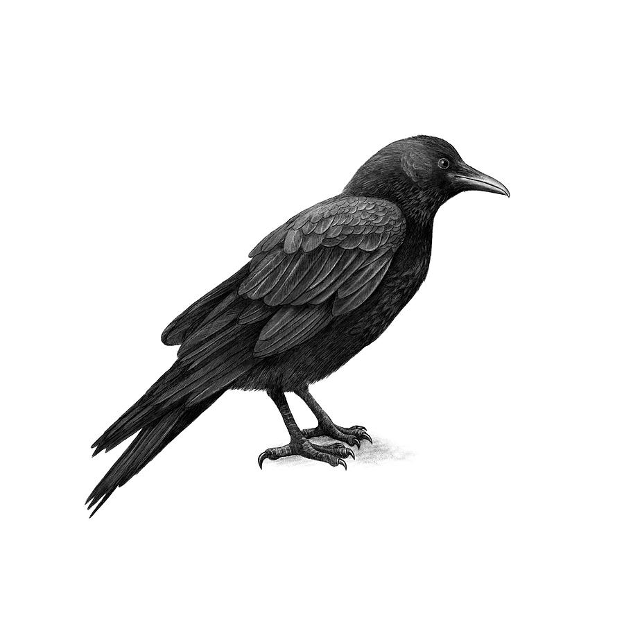 crow drawing how to draw a realistic crow draw crows step by step drawing crow