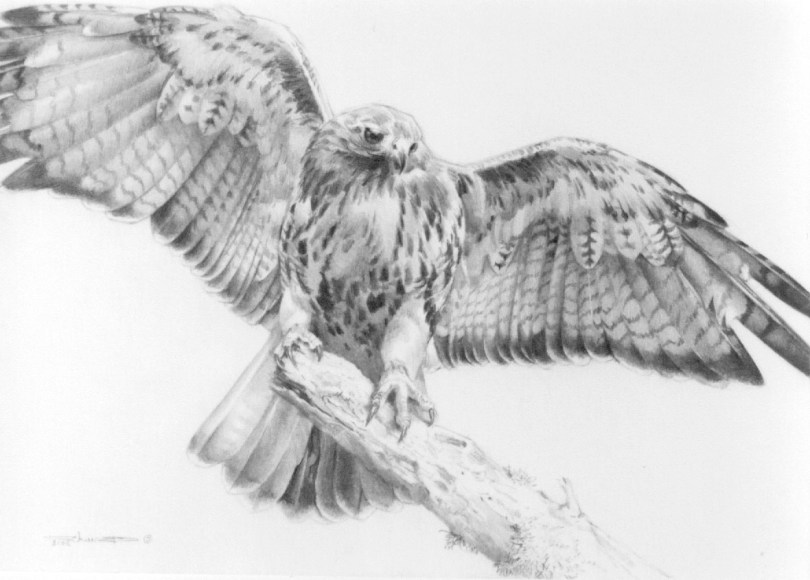 drawing of a hawk carl brenders red tailed hawk with open wings original hawk a drawing of