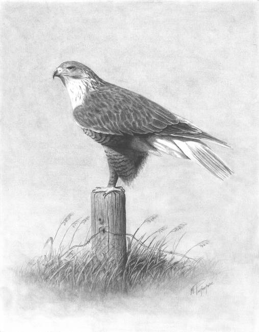 drawing of a hawk drawing quothawkquot artwork for sale on fine art prints a hawk of drawing