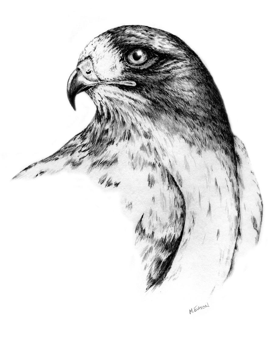 drawing of a hawk photography journal of seeing by john dyess drawing hawk a of