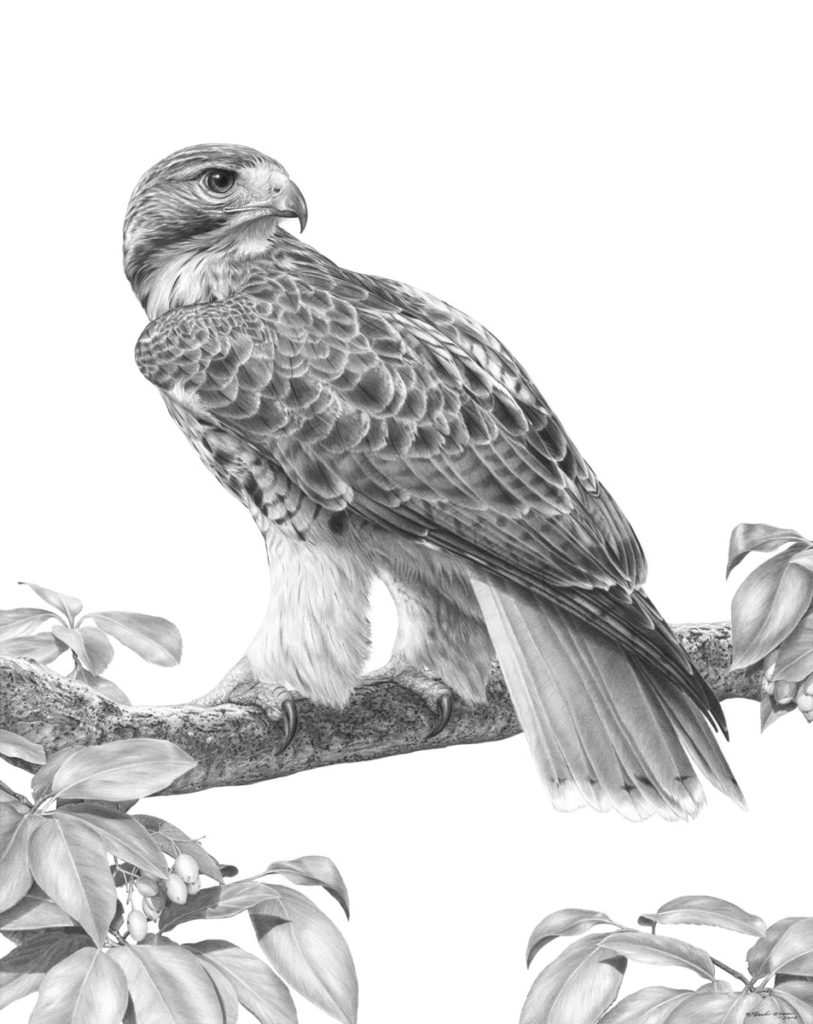 drawing of a hawk prints patrick gnan wildlife and nature artist a hawk of drawing