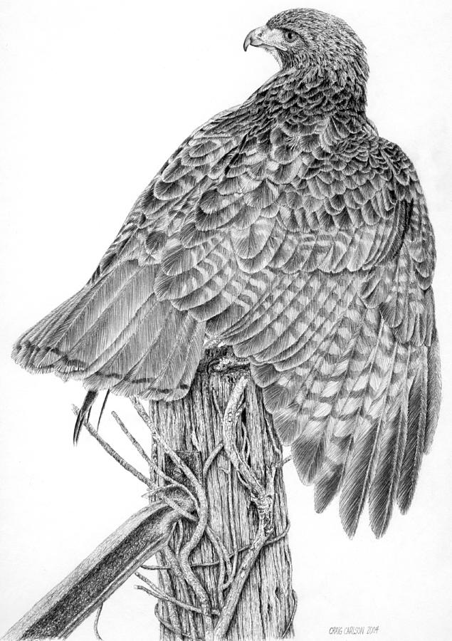 drawing of a hawk quotbig redquot red tailed hawk original ink drawing 6x6 of hawk a drawing