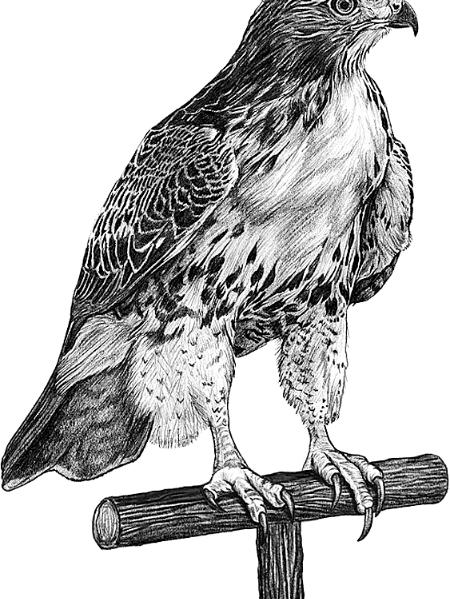 drawing of a hawk red tailed hawk artistic red drawing of hawk a