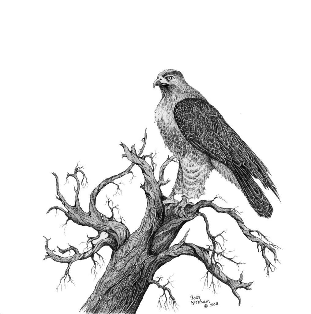 drawing of a hawk red tailed hawk drawing at paintingvalleycom explore hawk a drawing of