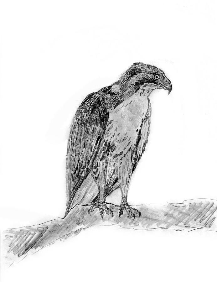 drawing of a hawk red tailed hawk drawing by kg christopher a of hawk drawing