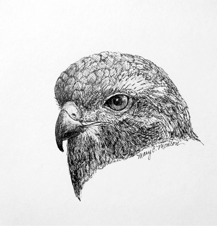drawing of a hawk the gallery for gt red tailed hawk drawing drawing hawk of a