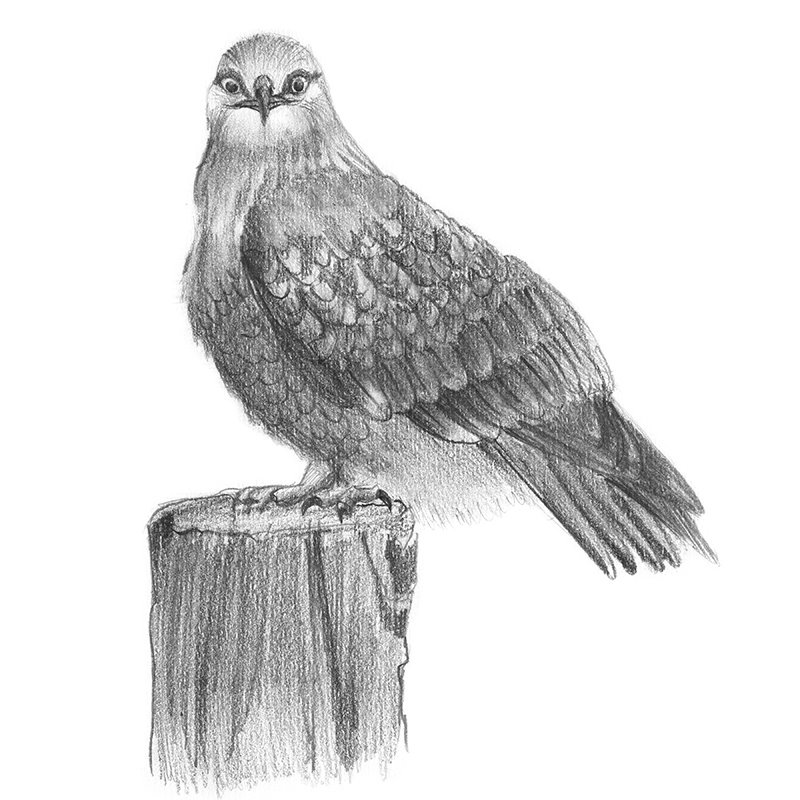 drawing of a hawk the gallery for gt red tailed hawk drawing of hawk drawing a