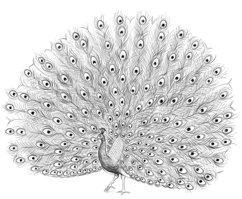 drawing of a peacock peacock drawing illustrations royalty free vector peacock of a drawing