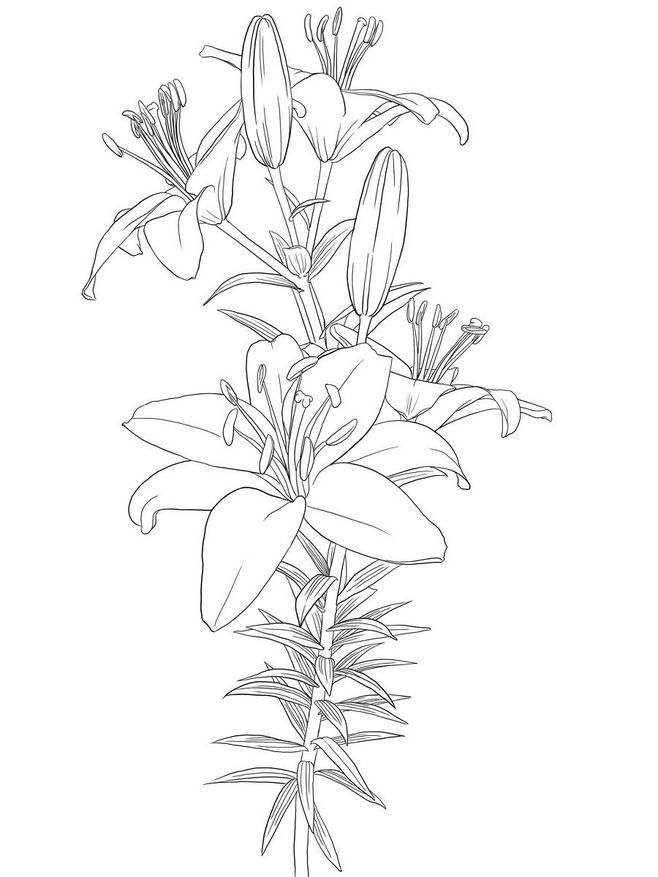 drawings of calla lilies calla lily drawing outline at getdrawings free download of lilies calla drawings