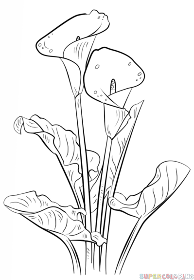 drawings of calla lilies how to draw a calla lily step by step drawing tutorials of calla drawings lilies
