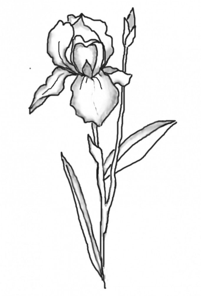 drawings of irises pin by peggy angelicola on line drawings of irises iris irises of drawings