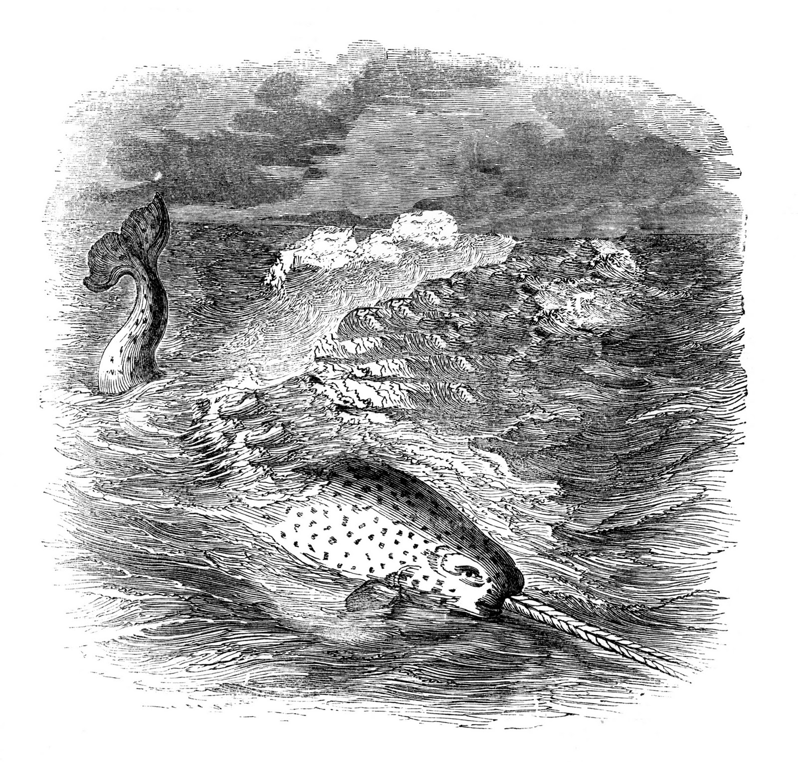 drawings of narwhals narwhal tattoo pesquisa google with images narwhal narwhals of drawings