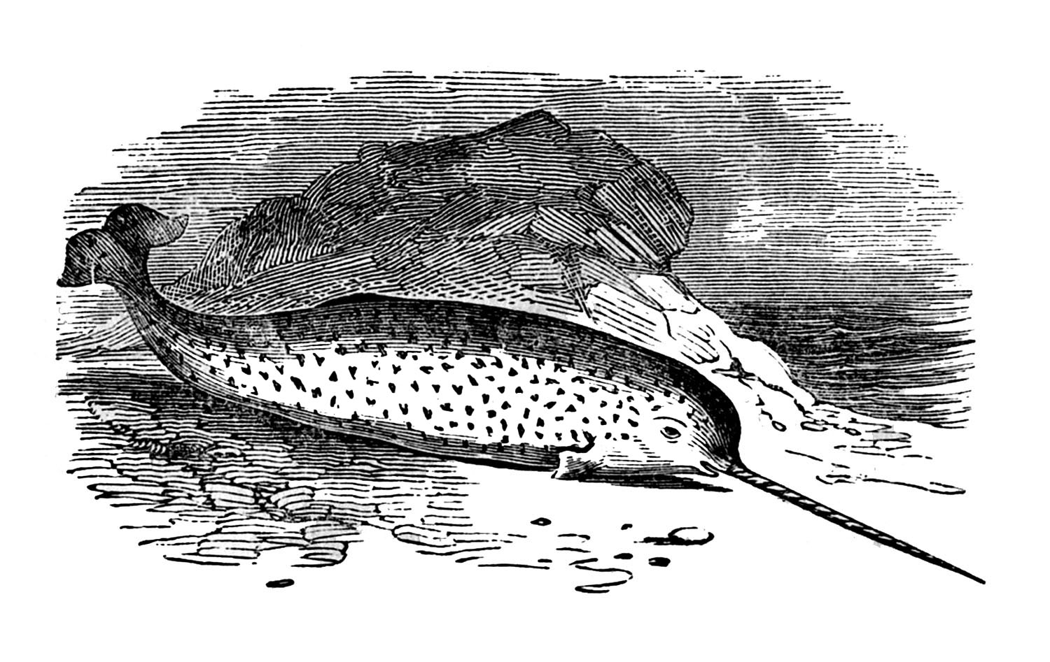 drawings of narwhals vintage sea clip art narwhals the graphics fairy narwhals of drawings