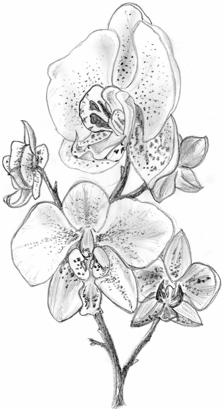 drawings of orchids the kitchen table crafter free digi sketch phalaenopsis orchids of drawings