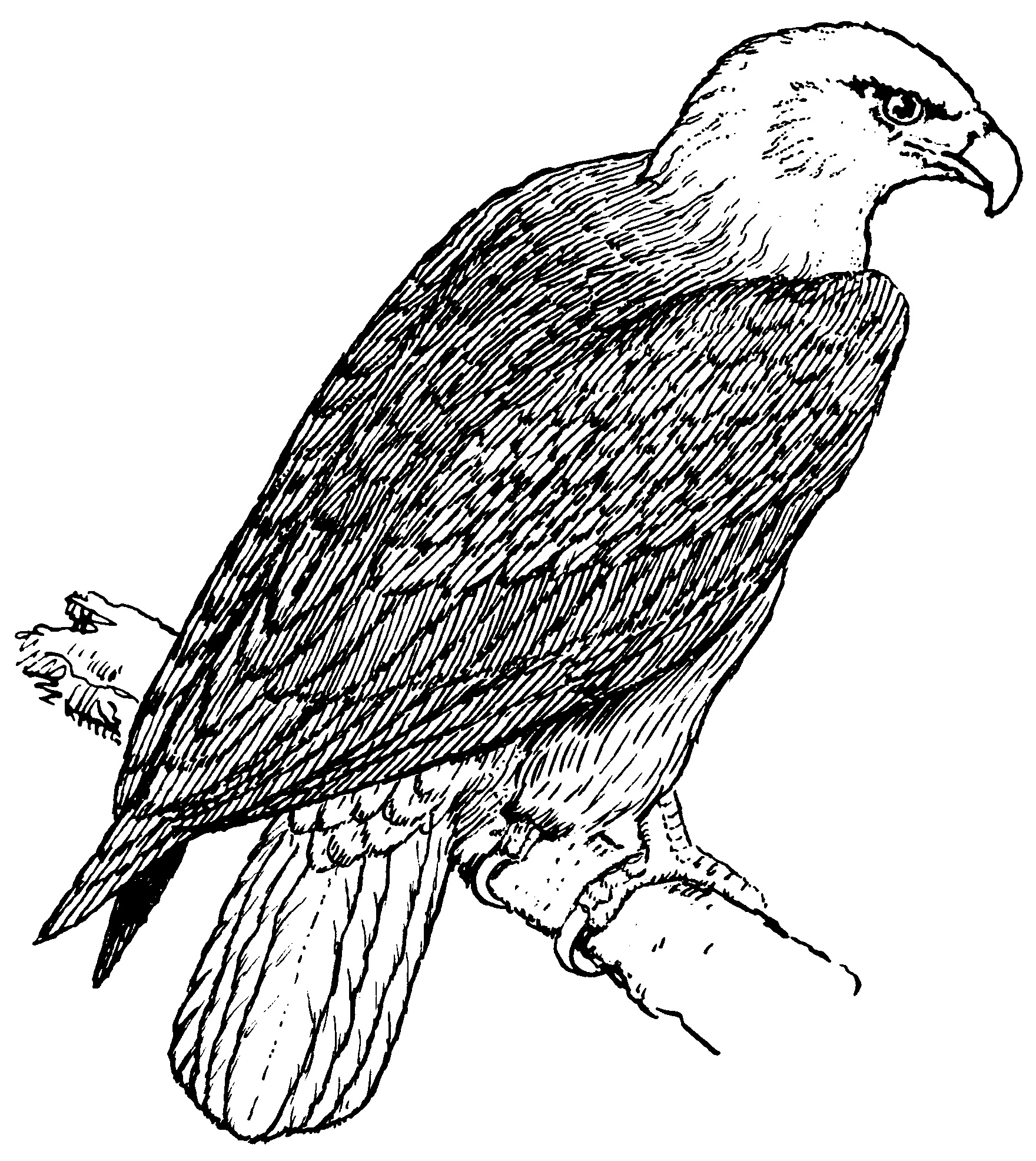 eagle color page free printable eagle coloring pages for kids eagle color page 1 1