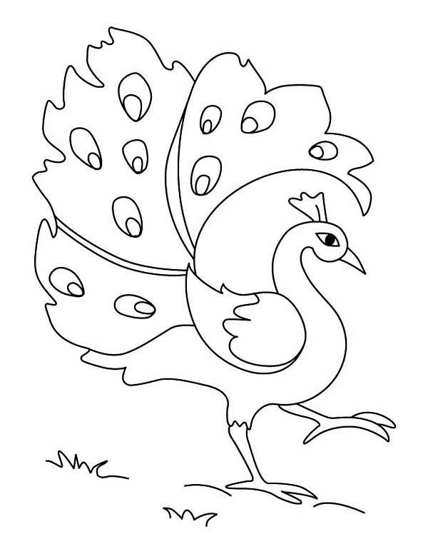 easy printable peacock coloring pages free printable peacock coloring pages for kids vogel pages peacock printable coloring easy