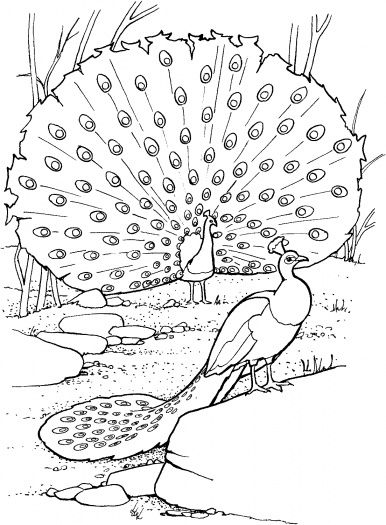 easy printable peacock coloring pages realistic peacock coloring page two peacocks coloring pages coloring printable peacock easy
