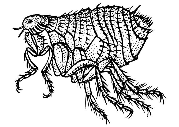 flea coloring page flea coloring pages flea page coloring