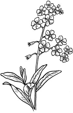forget me not outline vector bouquet with outline forget me not or myosotis not forget outline me