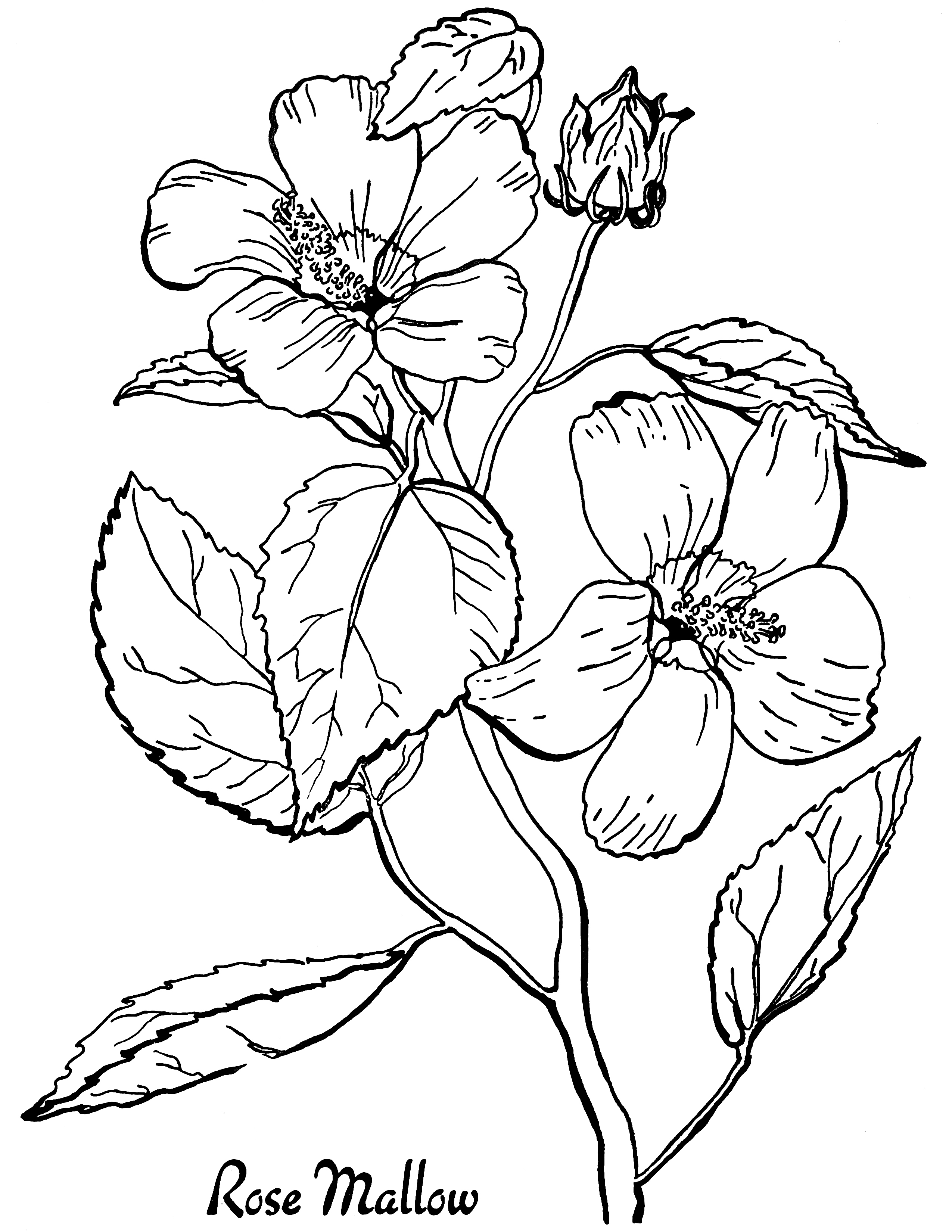 free printable flowers to color free roses printable adult coloring page the graphics fairy to printable color flowers free