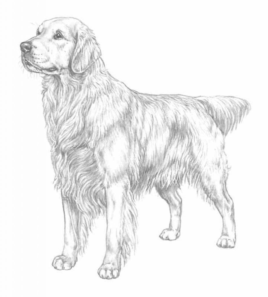 golden retriever pictures to print golden retriever puppies coloring pages coloring home print golden retriever pictures to
