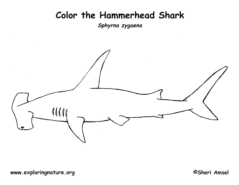 hammerhead shark pictures to color free printable shark coloring pages for kids color shark hammerhead to pictures