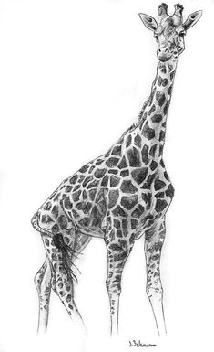 how do you draw a giraffe step by step giraffe and baby pencil drawing michelle39s drawings step draw do you giraffe a step how by
