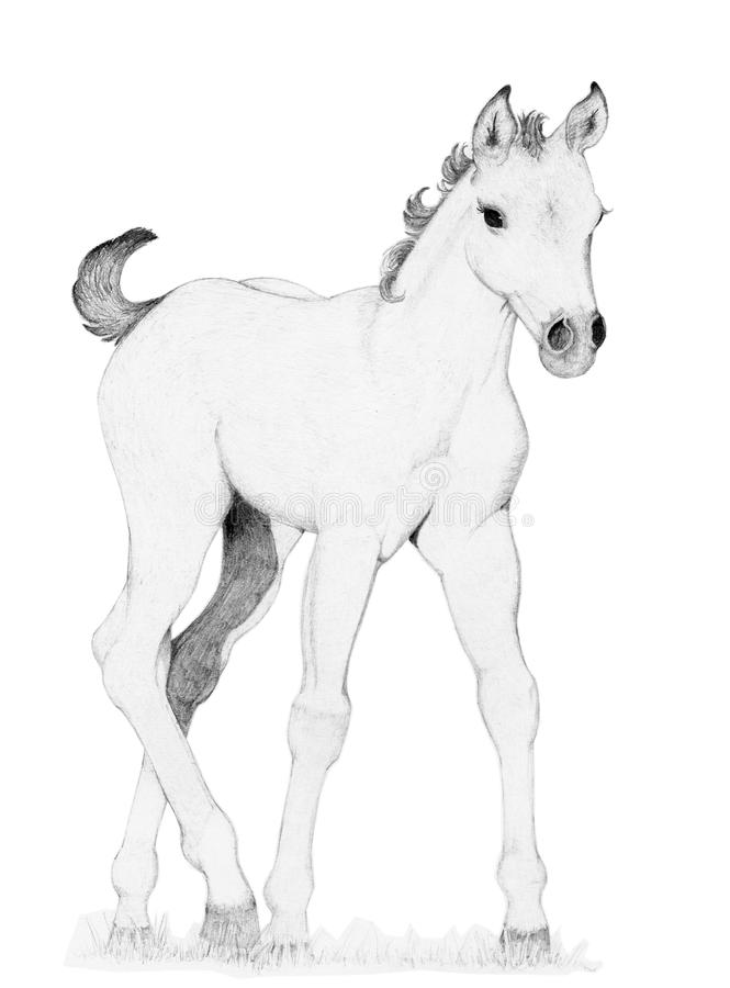 how to draw a baby horse young horse foal pencil sketch drawing by margret heyn baby to a how draw horse