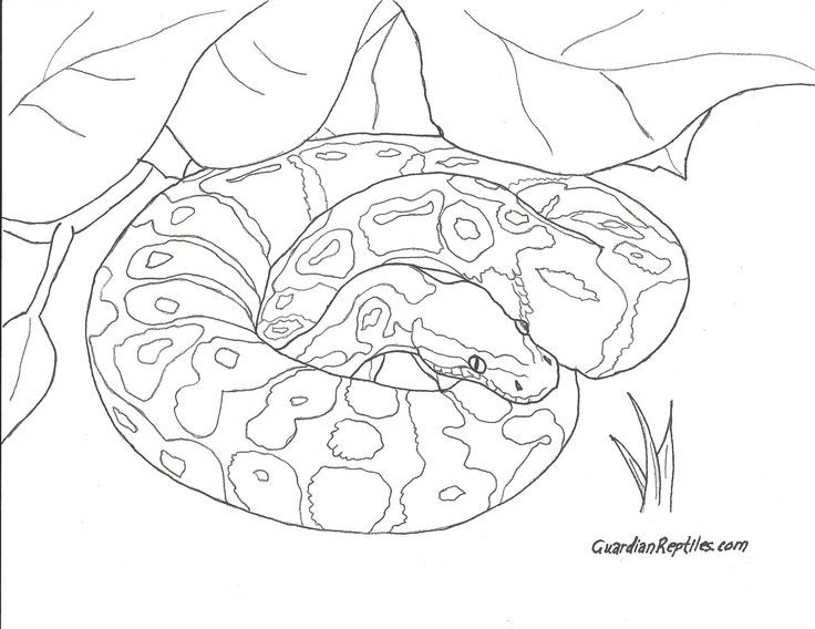 how to draw a ball python collection of reptiles clipart free download best python draw ball a how to