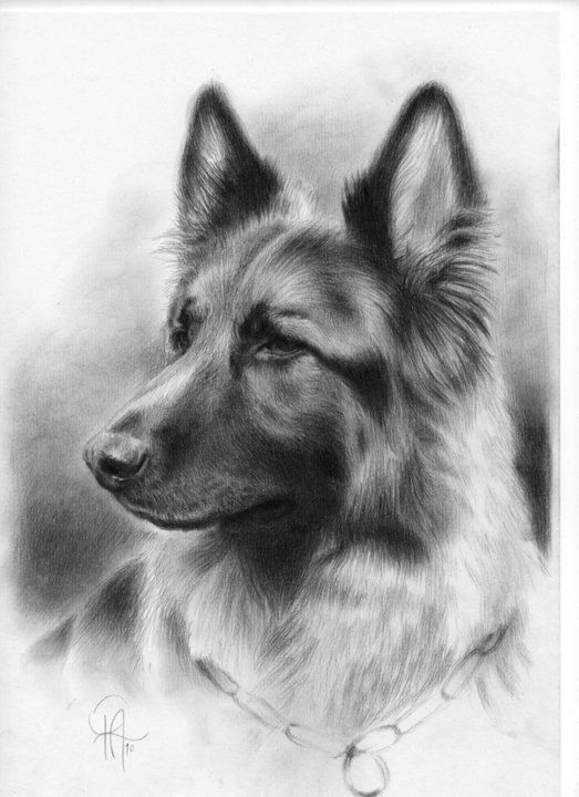 how to draw a realistic dog 22 best images about pencil drawings of dogs on pinterest dog how to realistic a draw