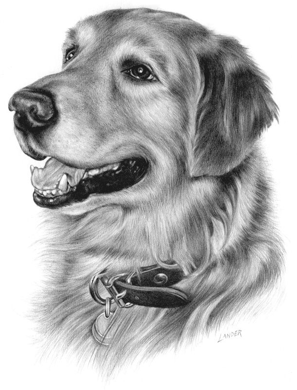 how to draw a realistic dog golden retriever puppy in charcoal one by kate sumners dog to a how draw realistic