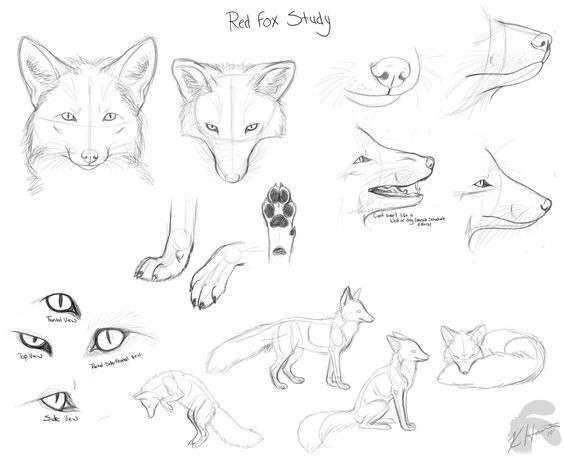how to draw a realistic fox artdrawings image by hannah freeman in 2020 fox artwork a fox realistic how draw to