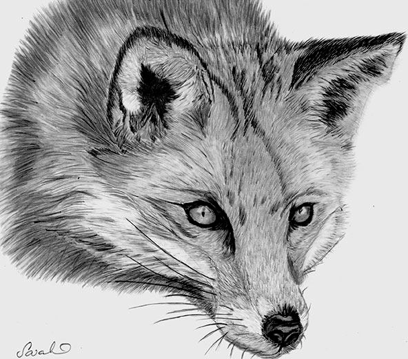 how to draw a realistic fox how to draw foxes of all shapes and sizes animal fox to a how realistic draw