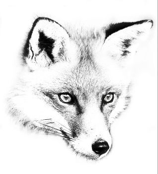 how to draw a realistic fox image by ellen bounds on graphite pencil drawings of fox to draw a how realistic fox
