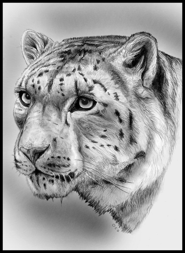 how to draw a snow leopard face 17 best images about snowpaws on pinterest pencil snow face draw to a leopard how
