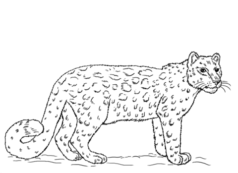 how to draw a snow leopard face drawn wallpaper snow leopard wallpapersafari draw snow to face how a leopard