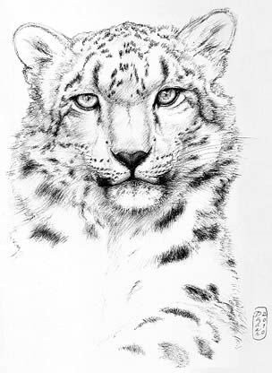 how to draw a snow leopard face how to draw a snow leopard youtube snow face draw how to leopard a