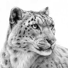how to draw a snow leopard face snow leopard face drawing easy to leopard how snow face a draw