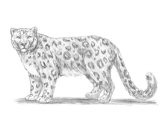 how to draw a snow leopard face snow leopard study by eliminate on deviantart a how snow draw face leopard to
