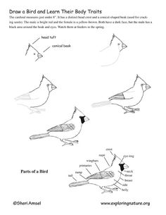 how to draw a sparrow bird step by step how to draw a sparrow step by step drawingforallnet a draw bird step step how to sparrow by