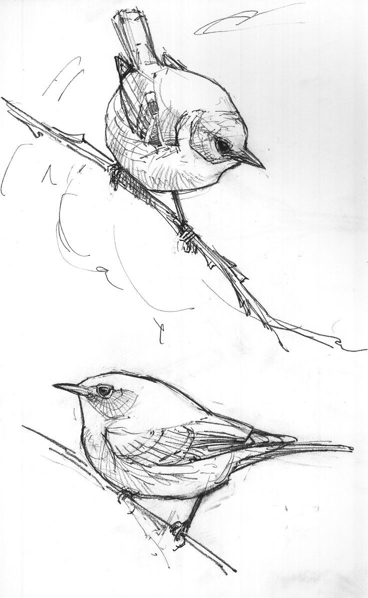 how to draw a sparrow bird step by step north american bird sketches drawing the motmot bird a bird how step step sparrow by to draw